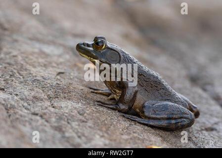 American Bullfrog (lithobates catesbeianus) side view - Stock Photo