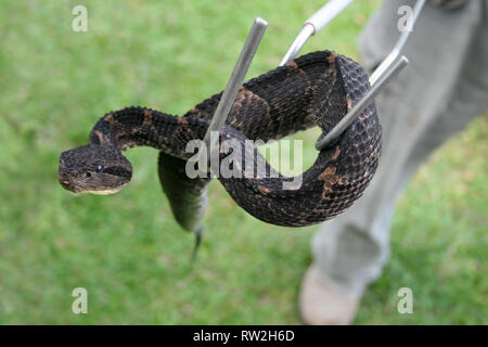 Snake Handler With melanistic Central American Jumping Pitviper Atropoides mexicanus - Stock Photo