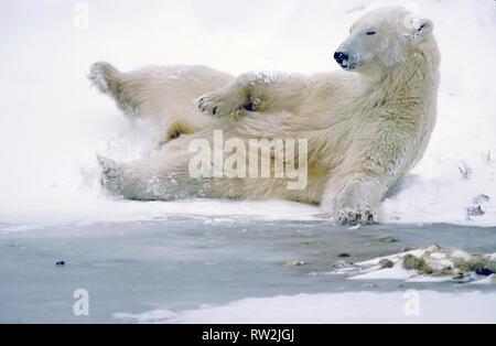 Polar Bear (Ursus maritimus) lying on its back playing in the snow near Churchill, Manitoba, CAN - Stock Photo