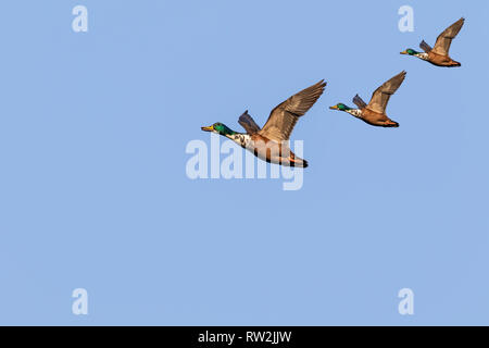 flying mallard ducks - Stock Photo