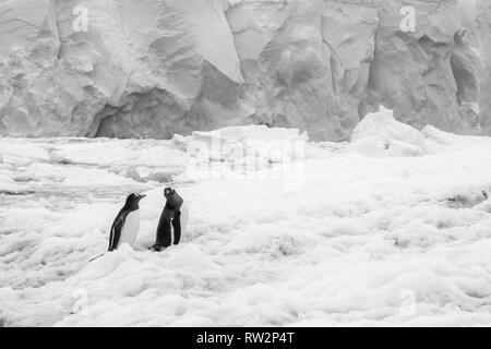 gentoo penguins walking in snow in Port Lockroy, Antarctic Peninsula - Stock Photo