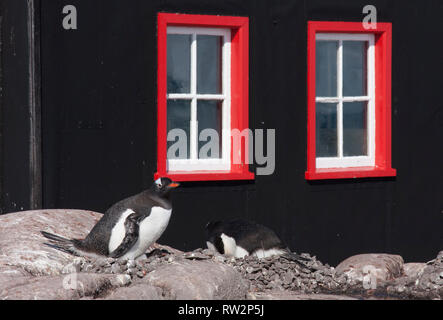 gentoo penguins nesting outside the Post Office of Port Lockroy - Stock Photo