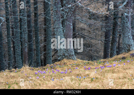 Saffron Crocus sativus first spring flowers blossom in alpine landscape, with beautiful soft focus pine trees in the background. - Stock Photo
