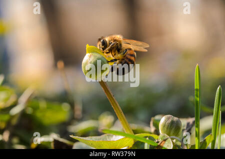 Honey bee collects pollen from the flower. Macro shot. A little bee collects pollen on a flower bud. - Stock Photo