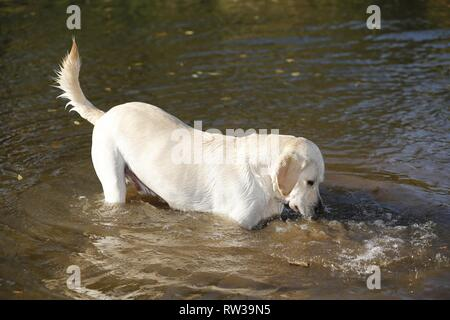 Labrador Retriever in the water - Stock Photo