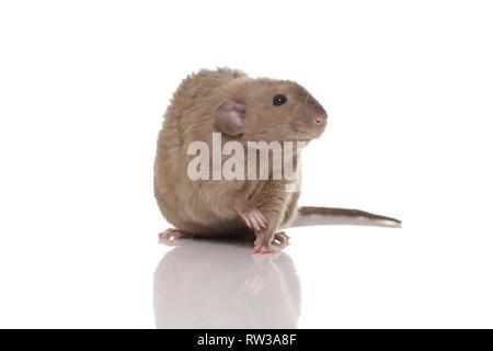 dumbo rex rat - Stock Photo