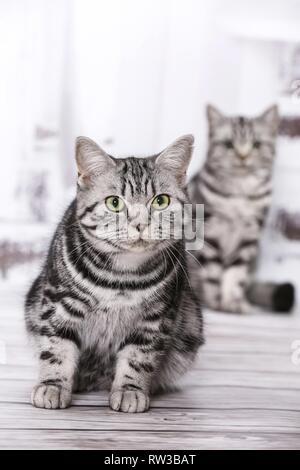 2 British Shorthair - Stock Photo