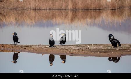 Great cormorants in Llobregat Delta, Catalonia, Spain - Stock Photo