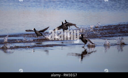 Group of common coot take off in Llobregat Delta, Catalonia, Spain - Stock Photo