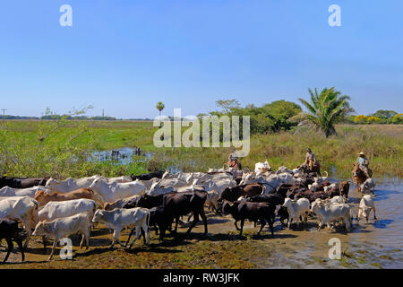 Unrecognizable cowboys with cows, cattle transport on the nature parkway in the Pantanal, Mato Grosso Do Sul, Brazil - Stock Photo