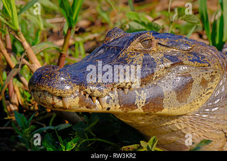 Close up of Yacare Caiman, Caiman Crocodilus Yacare Jacare, in the grassland, Pantanal, Porto Jofre, Mato Grosso, Brazil - Stock Photo