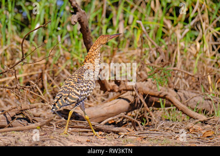 Juvenile young Rufescent Tiger Heron, Tigrisoma Lineatum, in the nature habitat near Porto Jofre, Pantanal, Brazil - Stock Photo