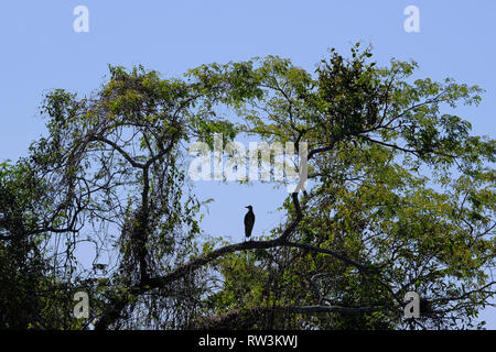 Silhouette of Rufescent Tiger Heron, Tigrisoma Lineatum, in the trees above Cuiaba river, Porto Jofre, Pantanal, Brazil - Stock Photo