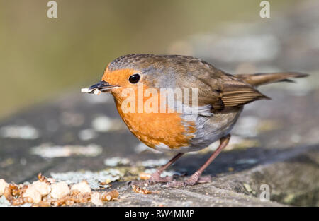 European Robin (Erithacus rebecula) - Stock Photo