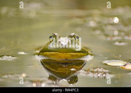 American Bullfrog (lithobates catesbeianus) in the swamp - Stock Photo