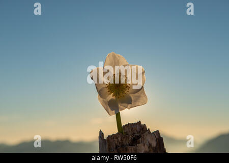 Helleborus is a flower that blooms in the snow - Stock Photo