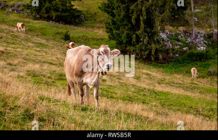 brown cow with cowbell happy on alpine field in Bavaria, travel reit im wink winklmoosalm - Stock Photo