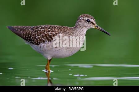 Wood Sandpiper close shot in green water pond - Stock Photo