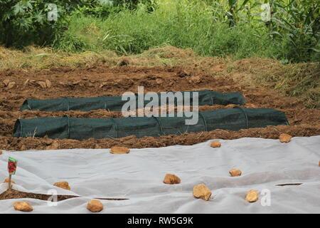 Gardening in Zambia fleece and net tunnels in field - Stock Photo
