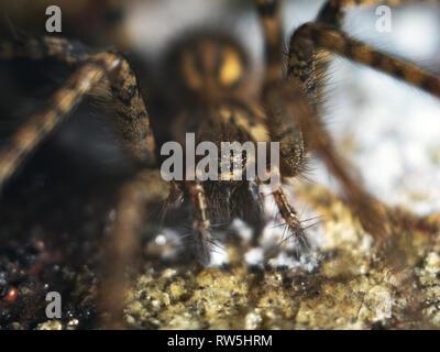Detailed Spider Eyes macro photo - Stock Photo