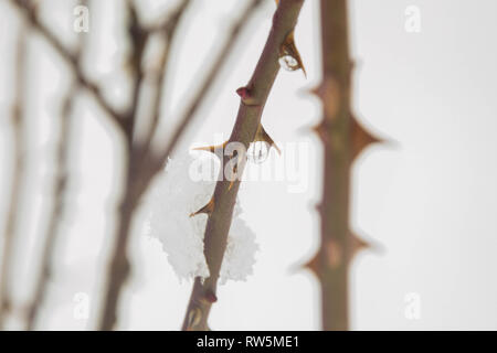 A branch of thorns in snow winter, snowfield, cold winter with plants beautiful nature, bushes covered in snow in snowfield, cold weather - Stock Photo