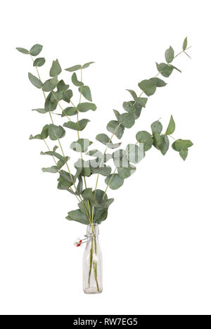 bouquet of eucalyptus cinerea, silver dollar, twigs and branches in glass swing top bottle, isolated on white background - Stock Photo