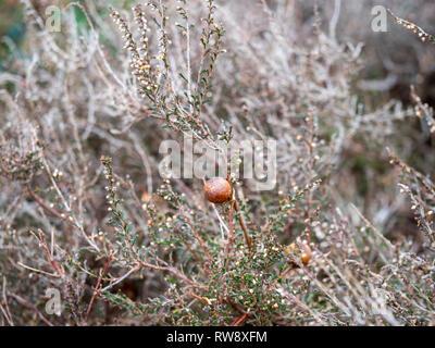 Oak Apple Gall - Stock Photo
