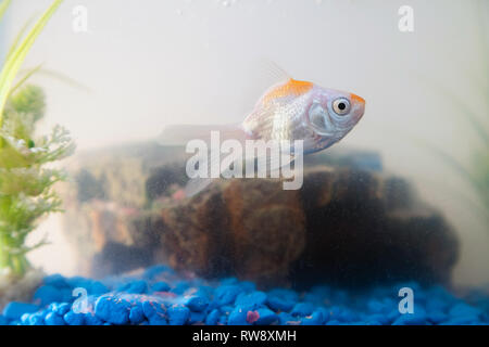 Goldfish in the aquarium at home. Fish rock and plants in the background - Stock Photo