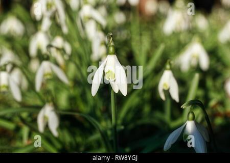 Snowdrop or common snowdrop (Galanthus nivalis) flowers - Stock Photo