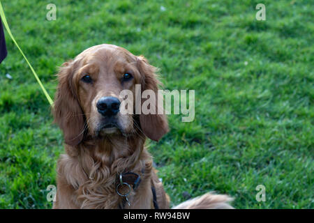 Irish setter Dog with long ears looking at the camera. - Stock Photo