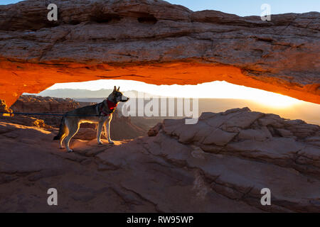 Dog on a leash looking at the sunrise across the Canyon with Mesa Arch framing the scene - Stock Photo