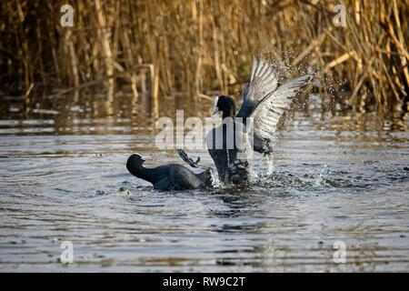 Two coots at Leighton Moss RSPB reserve settling a disagreement - Stock Photo