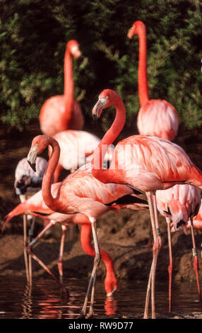 Caribbean Flamingo (Phoenicopterus r. ruber). It is the most colourful of the six species of flamingos. - Stock Photo