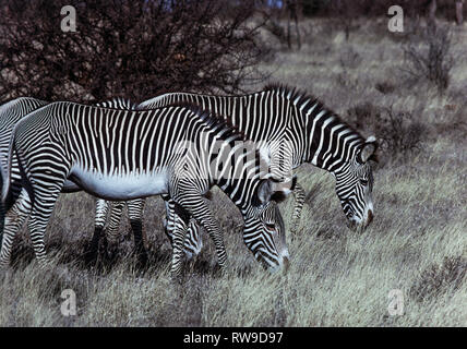 Grevy's Zebra (Equus grevyi).Animals in the Samburu National Reserve.Located in the Northern Frontier Province.Kenya.East Africa - Stock Photo