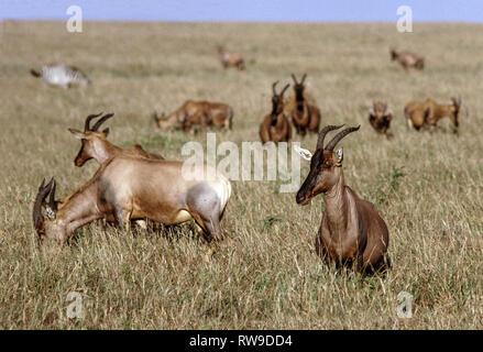 Thomson's Gazelle (Gazella thomsoni). 5 in the Masai Mara National Reserve.Kenya.East Africa. - Stock Photo