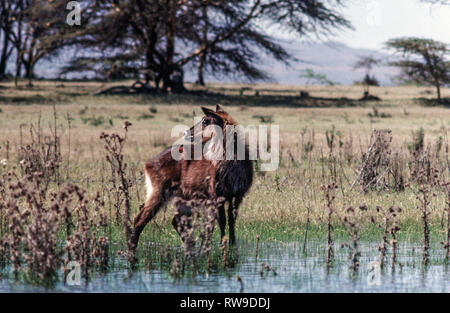 Common  Waterbuck (Kobus ellipsiprymnus).Immature standing near edge of Lake Nakuru. Kenya.East Africa. - Stock Photo