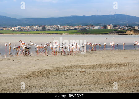 Group of flamingos at the Salk lake in Larnaca, Cyprus. - Stock Photo