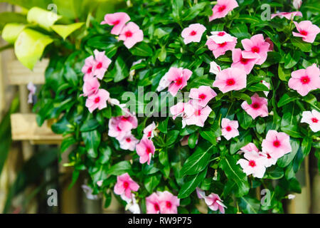 Pink Vinca (Periwinkle) Flowering Evergreen Ornamental Plant with flat five-petaled flowers and glossy green leaves, some contain alkaloids used in me - Stock Photo