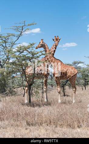 Reticulated giraffe (Giraffa camelopardis reticulata), the race of the giraffe found in northern Kenya and Somalia - Stock Photo