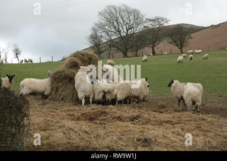 Sheep feeding on hay in a field in Shropshire, England, UK. - Stock Photo