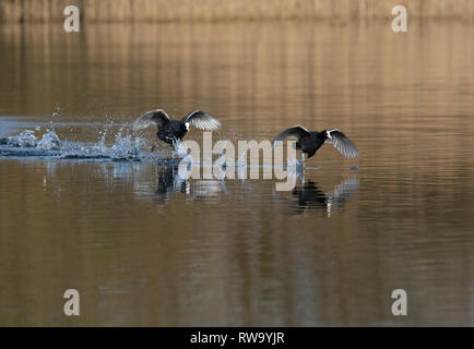 Eurasian coot, Fulica atra, chasing another coot during mating season, Lancashire, UK - Stock Photo