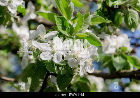 blooming century fruit tree, with beautiful flowers, in spring beautiful garden, closeup - Stock Photo
