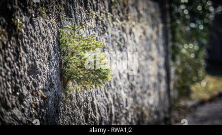 A miniature fir tree grows out of a crack in a wall. Nature has amazing  way of surviving in harsh conditions - Stock Photo