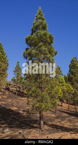 La Palma, Canary Islands Pine Trees growing in green valley national park