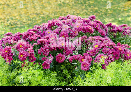 flowerbed with pink chrysanthemum flowers, beautiful composition in a public park - Stock Photo