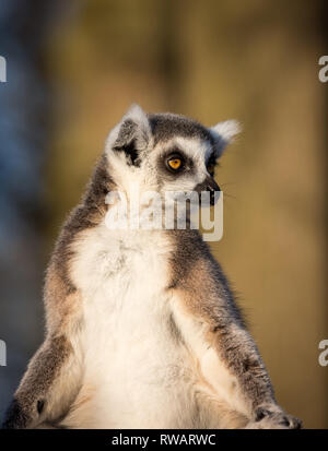 Detailed, portrait close up of single ring-tailed lemur (Lemur catta) sitting upright in sun, facing the front, sunbathing; head looking over shoulde - Stock Photo