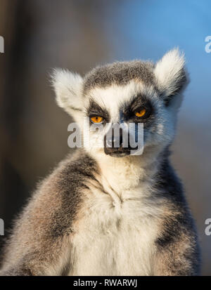 Detailed, portrait, front view close up of ring-tailed lemur (Lemur catta) isolated in captivity outdoors, sitting upright in sun looking very sleepy. - Stock Photo