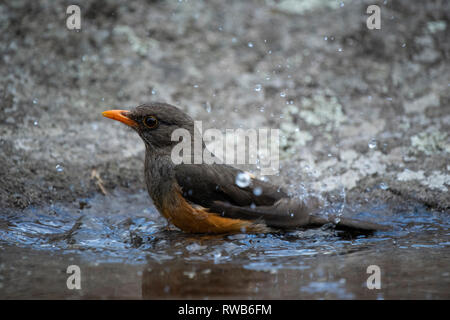 olive thrush, Turdus olivaceus, Mgahinga Gorilla National Park, Uganda - Stock Photo