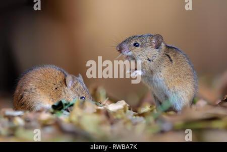 Striped field mice pair nice posing in leaf litter