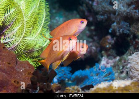 Lyretail anthias or Goldies [Pseudanthias squamipinnis].  Philippines. - Stock Photo